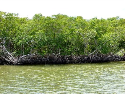 Mangroves are the best hiding spot for snook