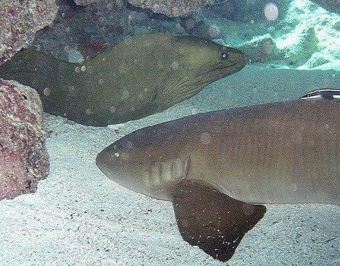 Nurse Shark Meeting up with an eel