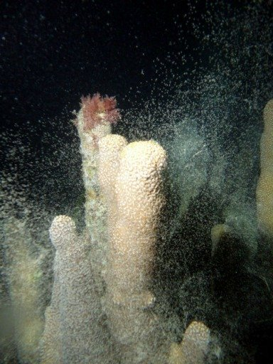 Florida Keys Pillar Coral Spawning at Night