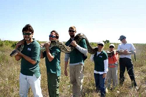 Burmese Python Killed in the Everglades