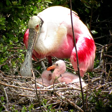Roseate Spoonbill Nesting With Chicks