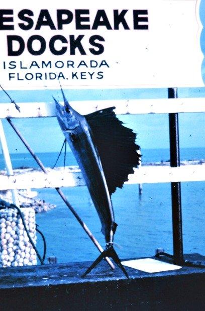 Sailfish Hanging at Islamorada Docks