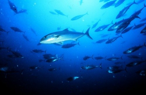 School of Amberjack