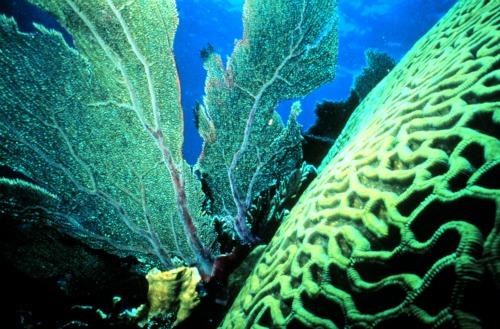 Sea fan and brain coral