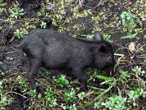 Tiny wild black pig foraging for food in a Florida swamp