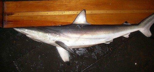Spinner Shark in Florida Keys