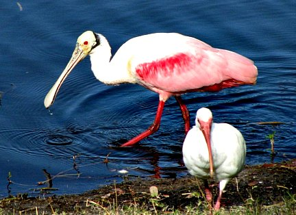Spoonbill and Ibis Feeding