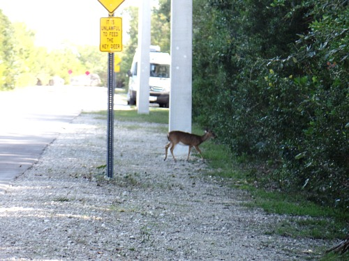 Tiny Key Deer Moving Into the Trees at Big Pine Key