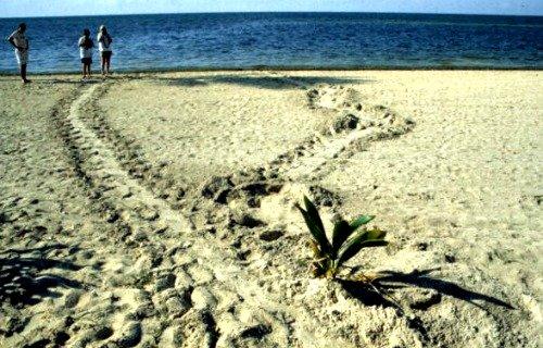 Sea Turtle Tracks Leading to the Ocean