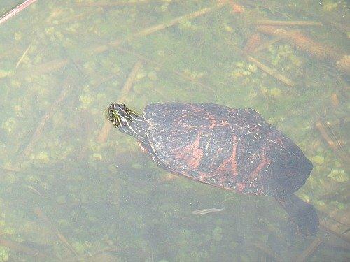 Turtle In Blue Hole, National Key Deer Refuge
