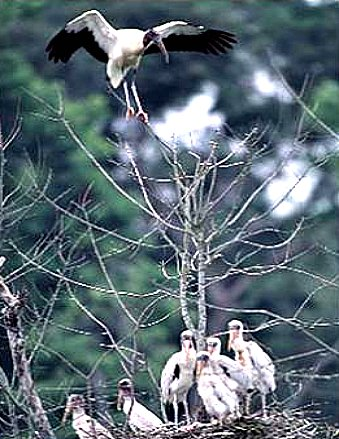 Wood Stork With Large Number of Chicks in Nest