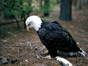 Majestic American Bald Eagle