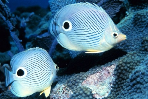Four Eye Butterflyfish