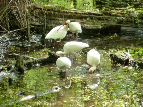 Group of Ibis Feeding in a Swamp