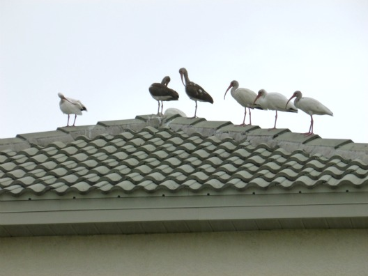 Group of White Ibis Perched on a Roof