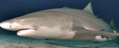 Lemon Shark in Florida Keys