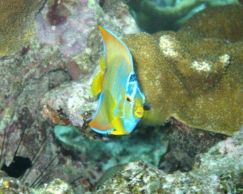 Tropical Queen Angelfish