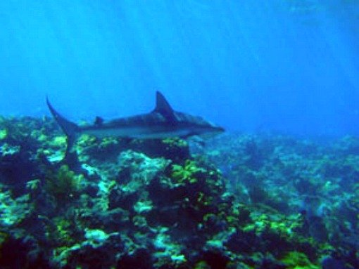 Shark Cruising a Reef