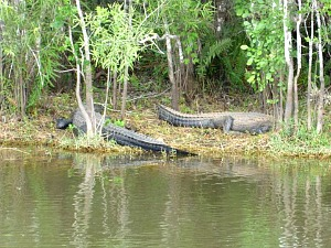 Two Large Alligator Lying on the Bank At Everglades National Park Swamp